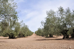 Plantation of olive trees, Andalusia (Spain) Stock Photography