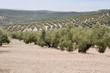 Plantation of olive trees, Andalusia (Spain) Royalty Free Stock Photo