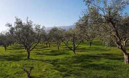 Plantation of olive trees Royalty Free Stock Photo