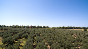 Plantation with olive trees Stock Image