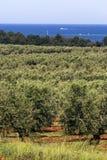 Plantation of olive trees Stock Photos
