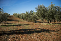 Plantation Olive Trees Stock Photo