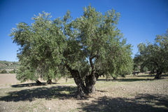 Plantation Olive Trees Royalty Free Stock Image