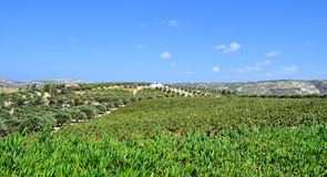 Plantation of olive trees and grapes Royalty Free Stock Images