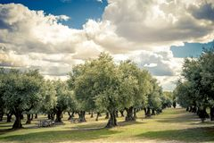 Plantation of olive trees in the park. For leisure activities wit clouded sky royalty free stock photo