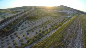 Plantation of olive trees ready for harvest season, oil production in Cyprus. Stock footage stock video