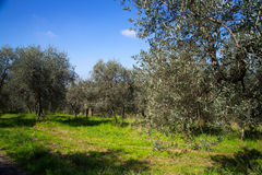 Plantation of Olive Trees Stock Photography