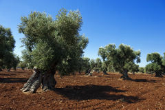 Plantation of Olives Royalty Free Stock Photography