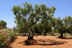 Plantation of Olives Stock Images