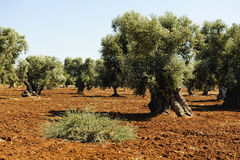 Plantation of Olives Royalty Free Stock Images