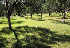 Plantation with olives Royalty Free Stock Photography