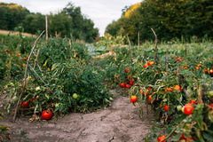 Plantation of organic tomatoes Stock Images