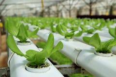 Plantation organique de Hydrophonic Photographie stock libre de droits