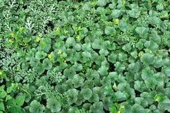 Plantation organiquement cultivée de melon et de pastèque Photographie stock