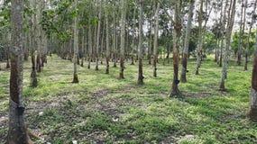Plantation ou caoutchouc d'arbres en caoutchouc Images libres de droits