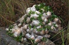 Dwarf pachypodium. Stock Image