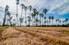 Plantation Palm trees at field rice after harvest Royalty Free Stock Image