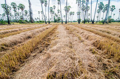Plantation Palm trees at field rice after harvest Stock Photos