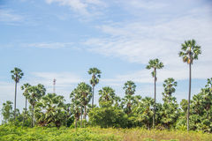 Plantation Palm trees at field rice after harvest Royalty Free Stock Images