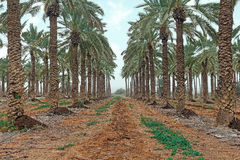 Plantation of palm trees Stock Image