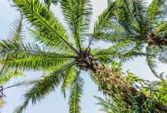 Plantation of Palms Stock Images