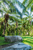 Plantation of Palms Stock Image