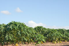 Plantation of papaya fruits Stock Photos