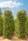 Plantation pepper Stock Photos