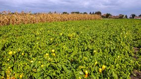 Plantation of Peppers in the Field Stock Photo