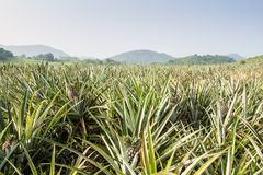 Plantation. Pineapple plantation with mountain background Stock Images