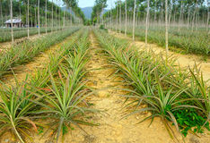 Plantation of pineapples Royalty Free Stock Images