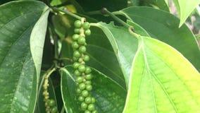 Plantation poivrée, production de poivre banque de vidéos