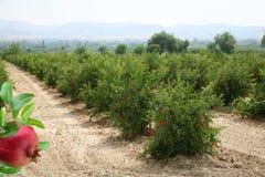 Plantation of pomegranate trees Stock Photos