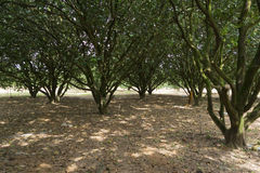 Plantation of pomelo trees Stock Images
