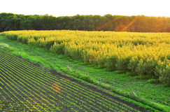 Agriculture , plantation  trees Stock Images