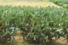 Plantation of Prickly Pear Stock Photo