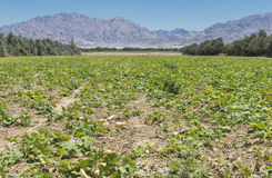 Plantation of pumpkins near Eilat, Israel Royalty Free Stock Photos