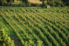 Plantation. Raspberry plantation in the summer day Stock Photo