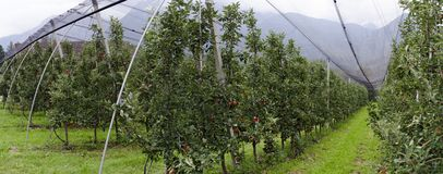 Plantation with  red apple trees Stock Image