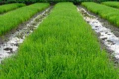 Plantation rice plants. Plantation crops of Farrmer for planting Stock Photo