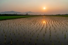 Plantation of rice sprouts under the morning sun stock photography