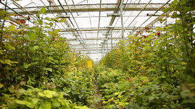 Plantation of roses stock video