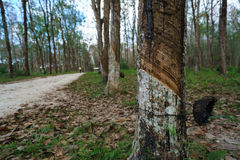 Plantation of rubber trees in Thailand Stock Photo