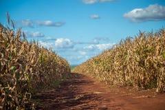 Plantation sèche de champ de maïs Photos libres de droits