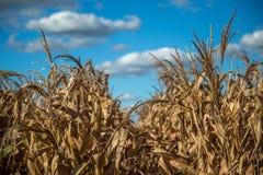 Plantation sèche de champ de maïs Photo libre de droits