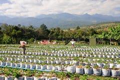 Plantation of strawberries Stock Image