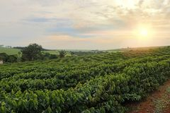 Free Plantation - Sundown On The Coffee Plantation Landscape Stock Photo - 113596680
