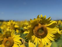 Plantation of sunflowers against the blue sky stock photography