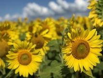 Plantation of sunflowers against the blue sky stock photos