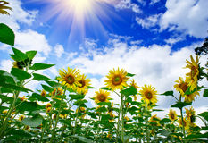 Plantation of sunflowers and blue sun sky. Amazing , fun sunflowers against blue sky Stock Images